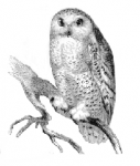 Picture of a Hoot Owl